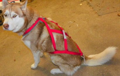 Why Should You Choose A Dog Harness Over A Collar For Your Dog?