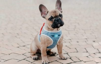 Advantages of Using Dog Harness during Ride