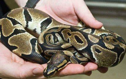 What Is The Ball Python Habitat?